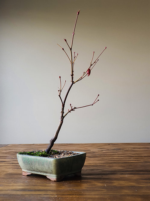 Matsumurae Japanese Maple #3