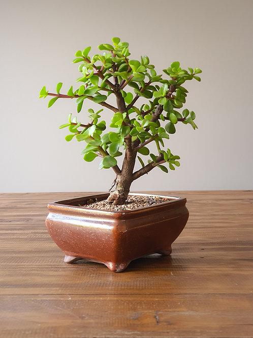 Dwarf Jade (Money Tree) Bonsai