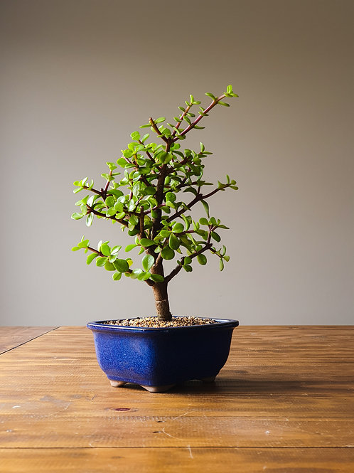 Dwarf Jade (Money Tree) Bonsai