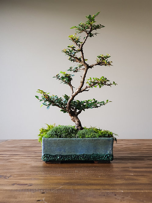 Advanced Chinese Elm, handmade pot #11