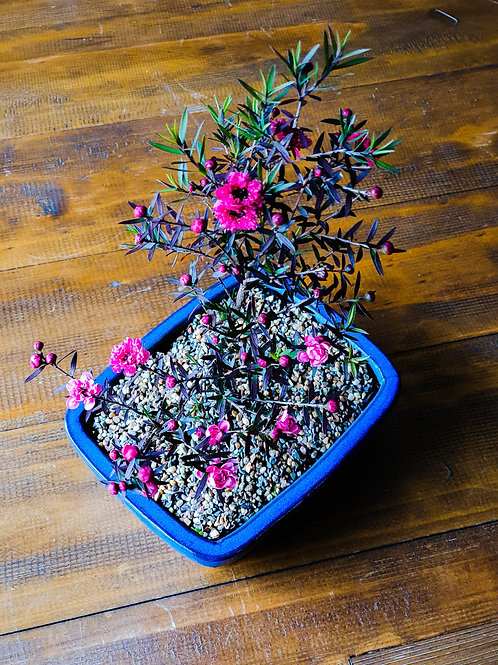 Tea Tree Bonsai, Leptospermum Ballerina