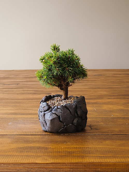 Mame Dwarf Spruce Bonsai and handmade pot