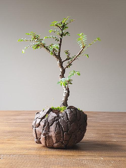 Seiju Elm, handmade pot #13