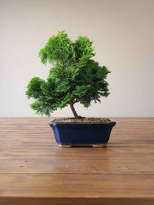 Hinoki Cypress Bonsai #3