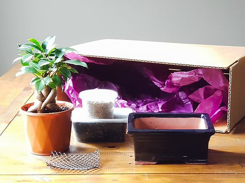 Ficus Bonsai Starter Kit with Navy Bonsai Pot