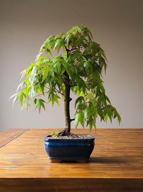 Advanced Japanese Maple