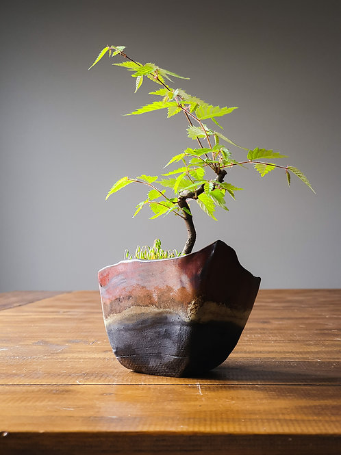 Japanese Elm, handmade pot