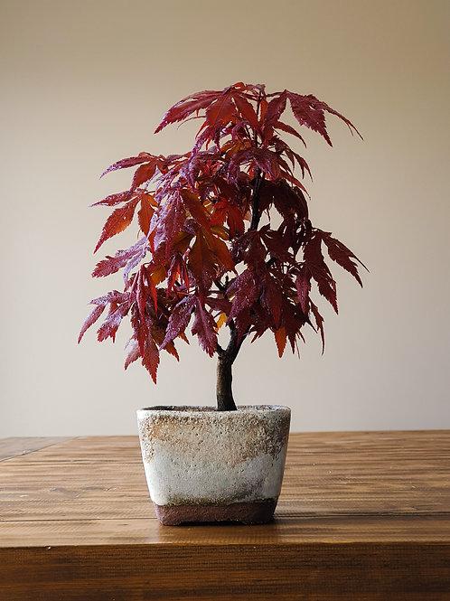 "Acer Palmatum ""Bloodgood"" Japanese Maple in handmade pot"