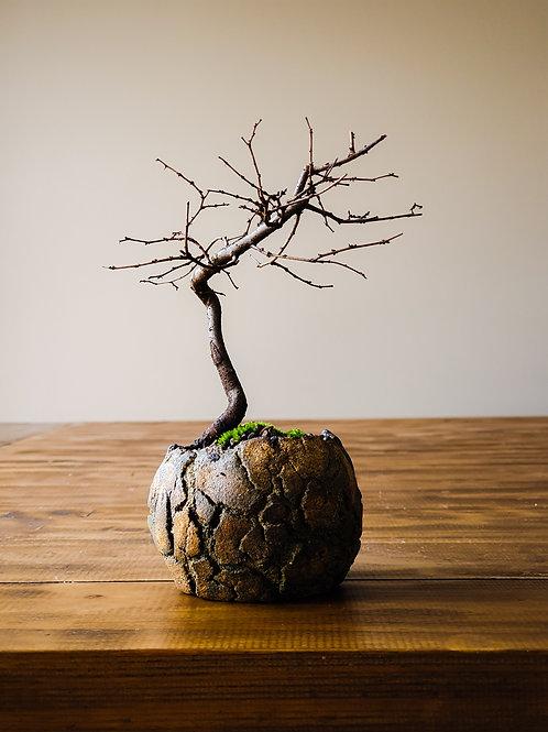 Japanese Elm #3, primitive handmade pot