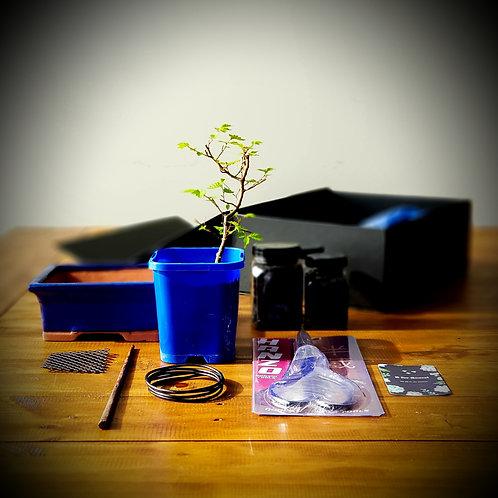 Japanese Elm Bonsai Starter Kit
