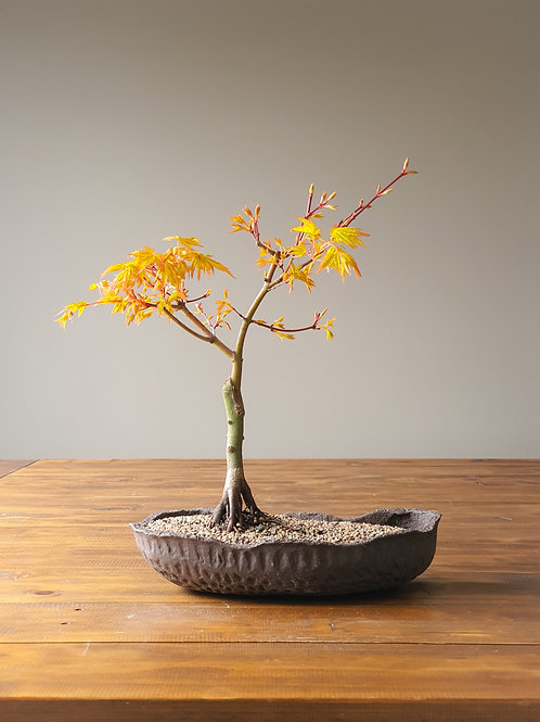 Sango-Kaku, Coral Bark Japanese Maple in primitive pot