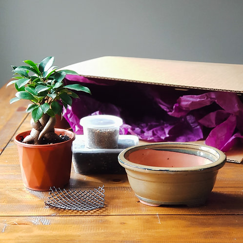 Ficus Bonsai Starter Kit with Sandstone Bonsai Pot