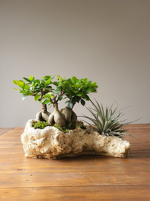 Ficus Group Planting with Airplants in Log Pot