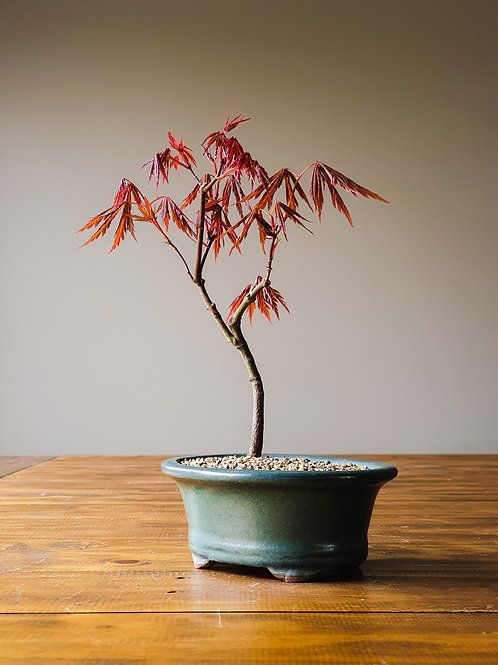 Matsumurae Japanese Maple