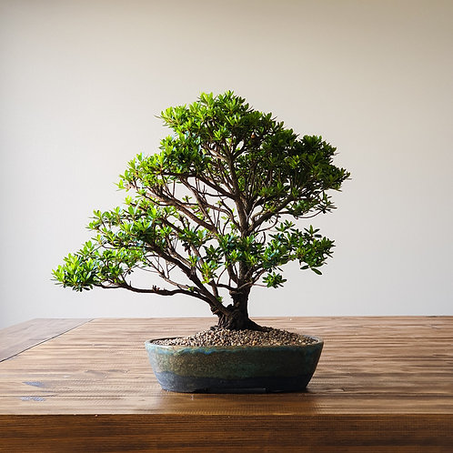 Advanced Saotome Azalea Bonsai with handmade pot
