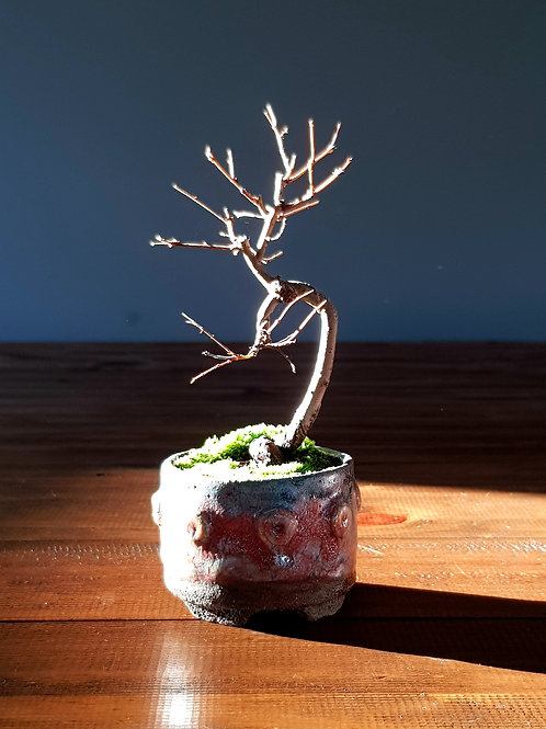 Mame Bonsai - Japanese Elm in Handmade pot