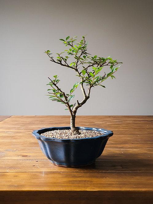 Advanced Chinese Elm Bonsai
