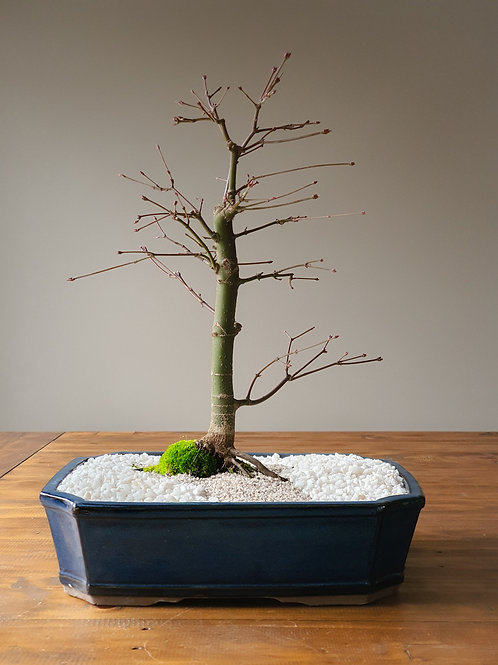 Large Japanese Maple (Pickup Only)