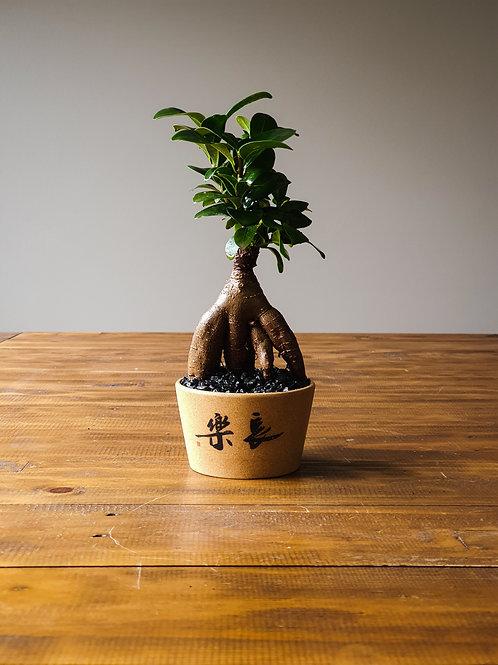 Ficus Bonsai in sandstone pot