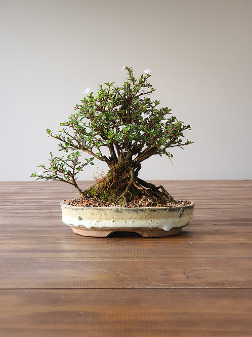 Advanced Serissa Bonsai with handmade bonsai pot