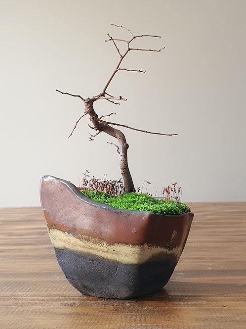 Japanese Elm, handmade pot