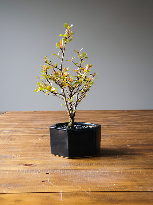 Dwarf Pomegranate Bonsai