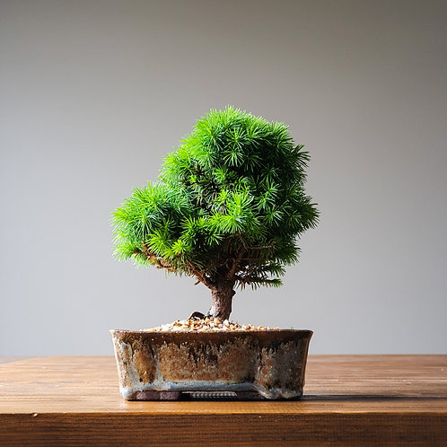 Dwarf Spruce Bonsai and handmade pot #3