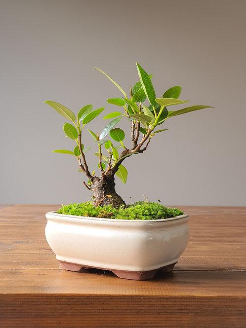 Port Jackson Fig Bonsai