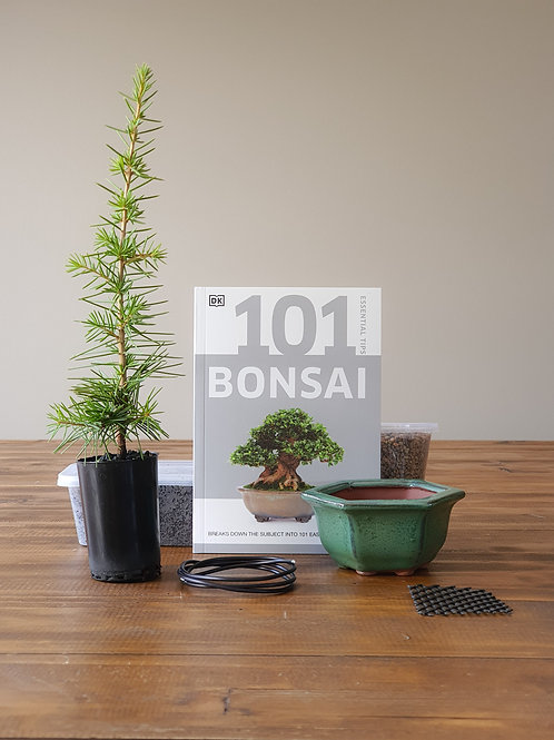 Cedrus Atlantica Bonsai Starter Kit