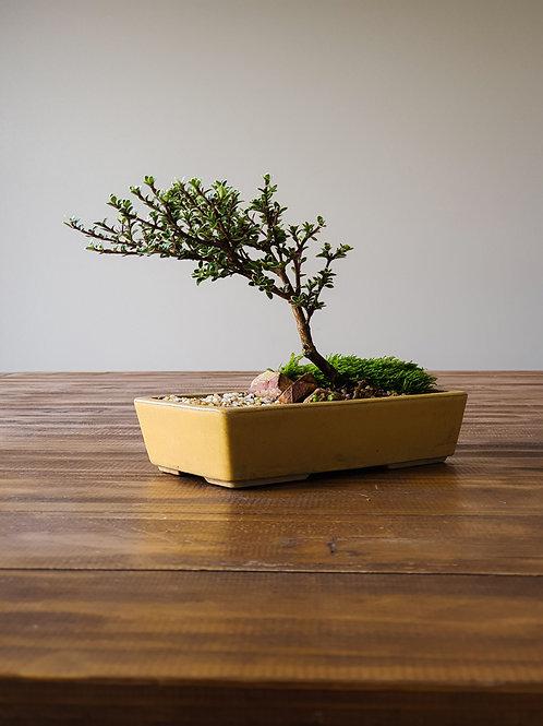 Serissa Bonsai with Japanese bonsai pot