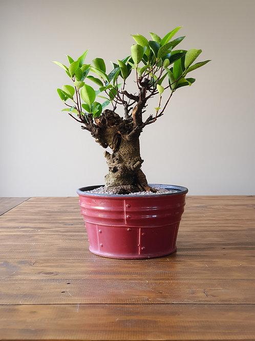 Advanced Ficus in Rustic pot