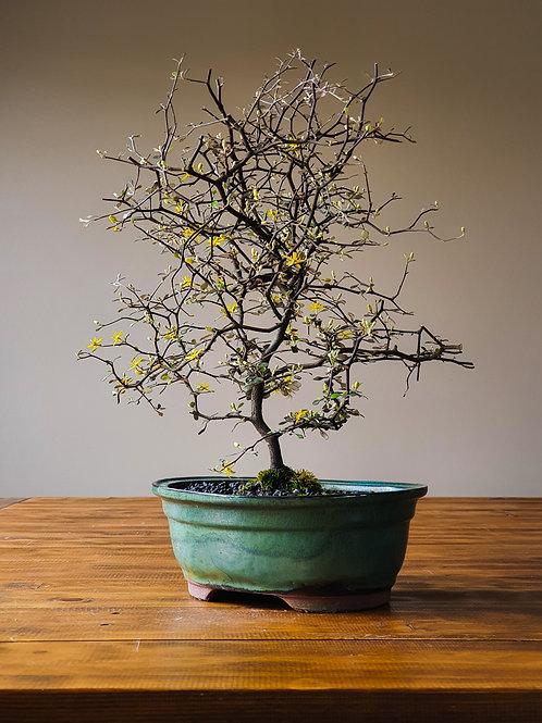 Advanced Corokia Cotoneaster Bonsai #3