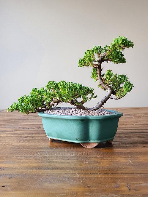 Advanced Juniper Bonsai