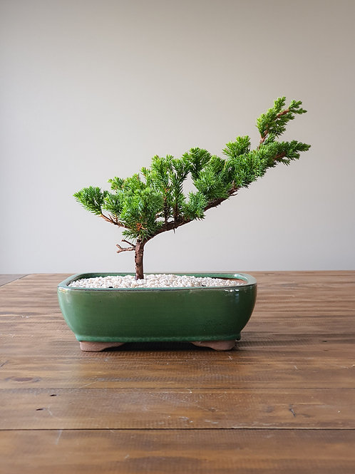 Juniper Procumbens Bonsai #17