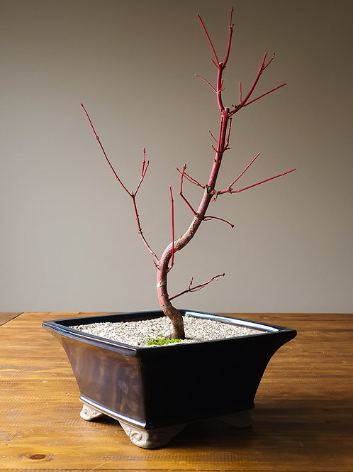 Coral-Bark Japanese Maple #5 Snow top dressing