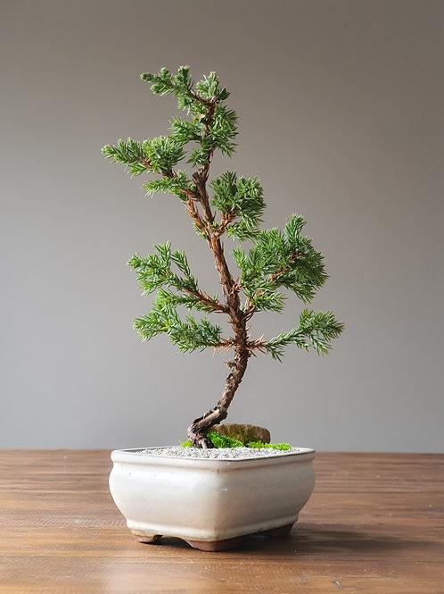 Juniper Bonsai with landscape