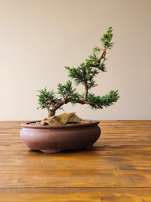 Advanced Shimpaku Bonsai #1