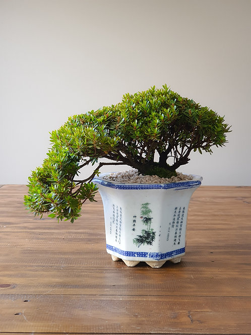 Advanced Semi-Cascade Saotome Azalea Bonsai
