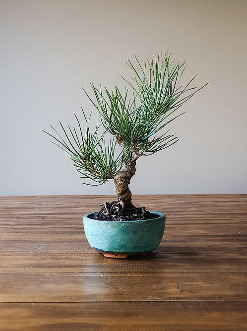 Japanese Black Pine, handmade pot