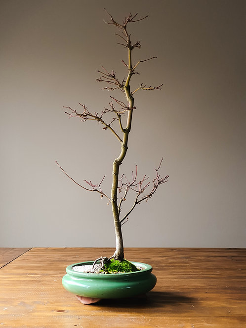 Tall Japanese Maple Bonsai with smaller leaves