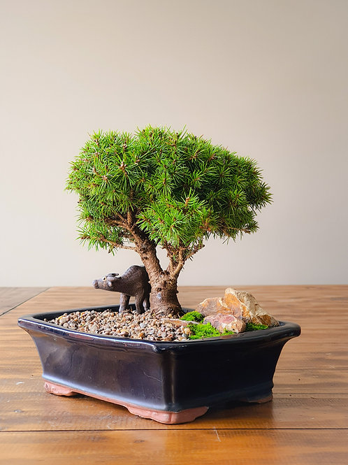 Dwarf Spruce with figurine and landscape