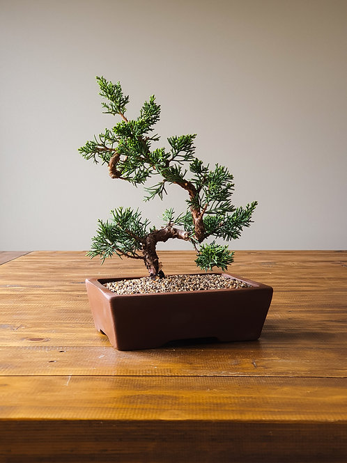 Advanced Shimpaku Bonsai #3