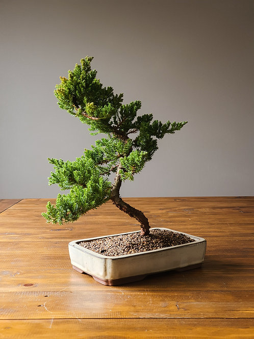 Advanced Juniper Bonsai #15