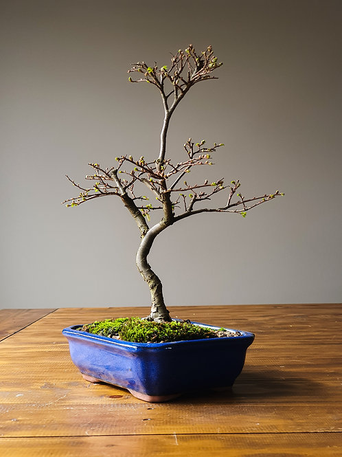 Advanced Chinese Elm Bonsai with landscape