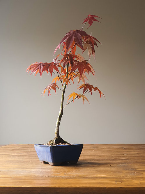 Japanese Maple 'Rosies Red'