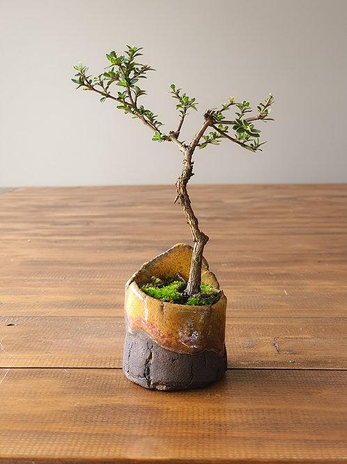 Serissa Mame Bonsai with handmade pot