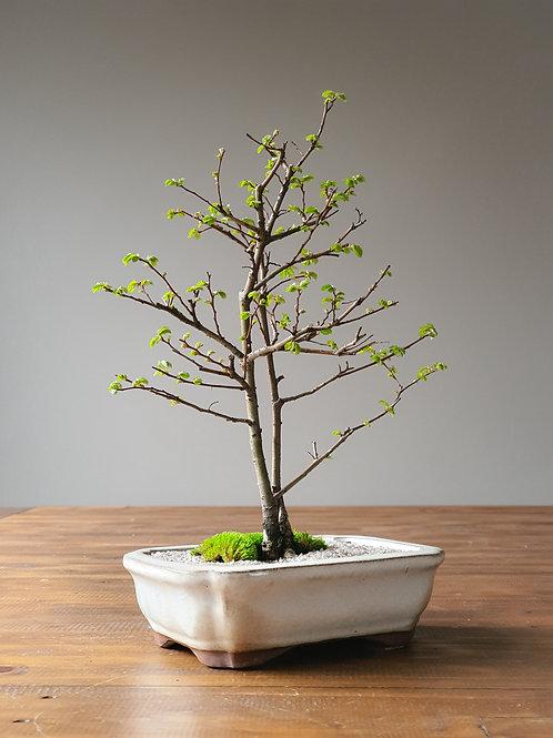 Twin Trunk Chinese Elm Bonsai