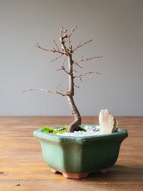 Japanese Elm with snow top dressing