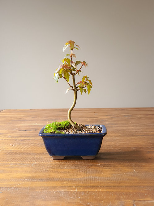 Trident Maple with moss
