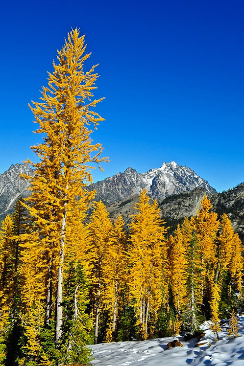 Japanese Larch with snow top dressing